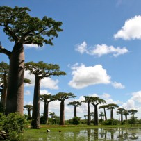 Alley of the Baobabs